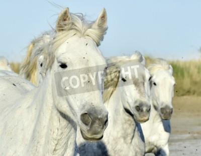 Fototapeta Portret Bieg Biały Camargue koni w Parc Regional de Camargue