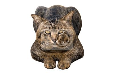 Fototapeta Portret brąz przyglądający się i duży kierowniczy tabby kot odizolowywający na białym tle