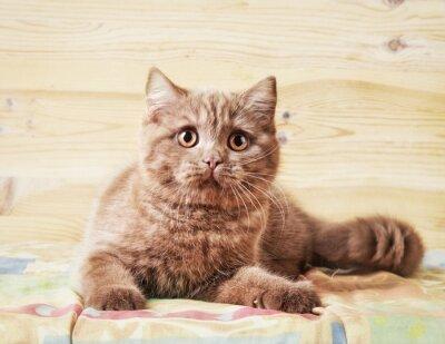 Fototapeta Portret British kitten