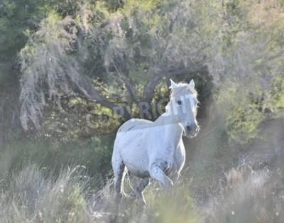 Fototapeta Portret Camargue Białego Konia. Provance, Francja