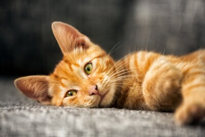 Fototapeta Portret cute kitten