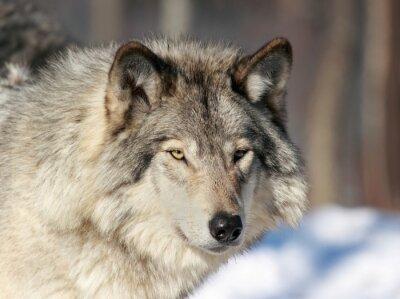 Fototapeta Portret de loup gris