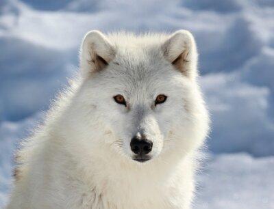Fototapeta Portret du Loup arctique