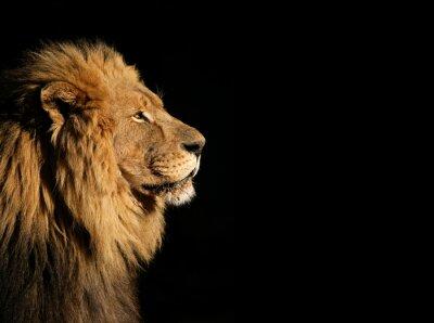 Fototapeta Portret duży samiec lwa afrykańskiego na czarno