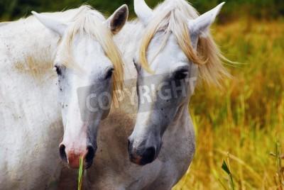 Fototapeta Portret dzikich koni w camargue francuski Region