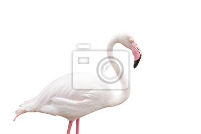 Portret Flamingo na białym tle