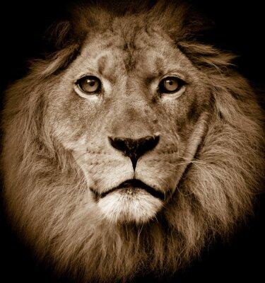 Fototapeta Portret Lion