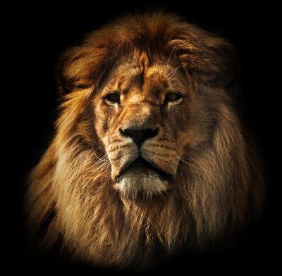 Fototapeta Portret Lion z bogatą grzywę na czarno