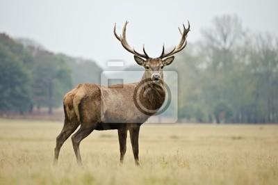 Fototapeta Portret majestatycznym czerwonego jelenia jesienią jesienią
