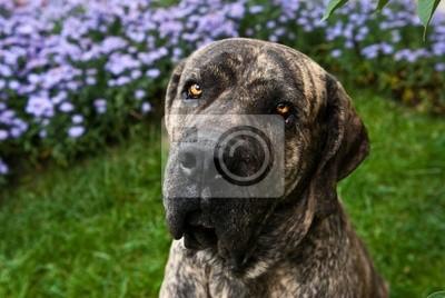 Fototapeta Portret Mastiff brazylijski lub Fila Brasileiro w parku