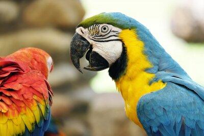 Fototapeta Portret niebieski i złota papuga ara