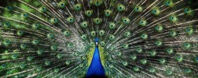 Fototapeta Portret pięknej pawia z piór out