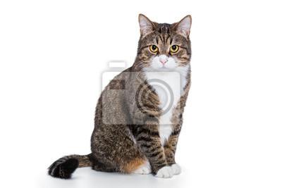 Fototapeta Portret poważny szary kot ja