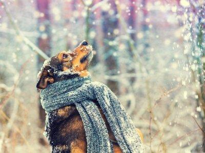 Fototapeta Portret psa z dzianiny szalik związany wokół szyi spaceru w zamieci w lesie. Pies łapie płatki śniegu