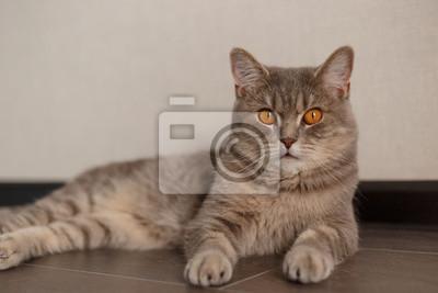 Fototapeta Portret śliczny Kot Szkocki Prosto Z Domem Leżący Kot Na
