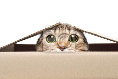 Fototapeta Portret śmieszny kot patrzeje z pudełka