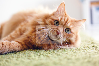 Fototapeta Portret śmieszny piękny czerwony puszysty kot z zielonymi oczami w wnętrzu, zwierzęta domowe
