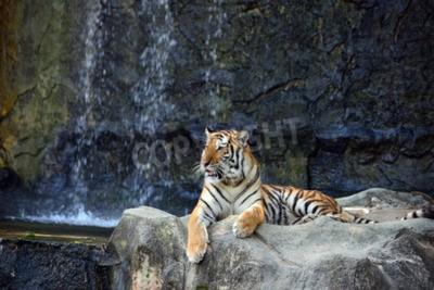 Fototapeta Portret tygrysa