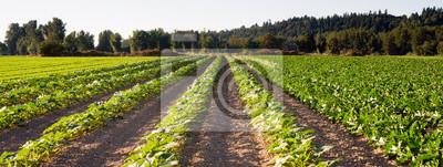 Fototapeta Posadzone Wiersze Herb Farm roślin rolniczych zbożu
