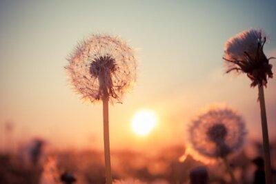 Fototapeta Prawdziwe pole i mniszka lekarskiego o zachodzie słońca