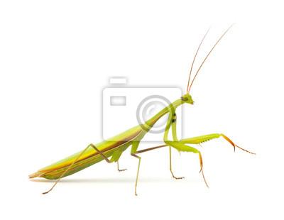 Praying mantis isolated on white