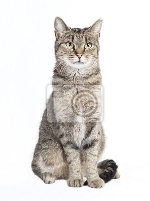 Fototapeta pręgowany kot patrząc na kamery