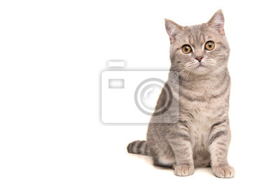 Fototapeta Pretty sitting silver tabby british shorthair cat looking at the camera isolated on a white background