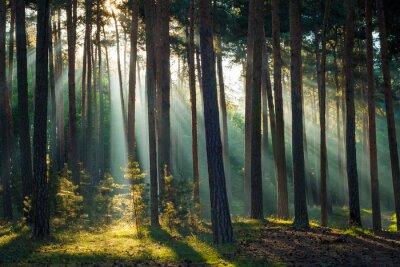 Fototapeta Promienie słoneczne w lesie rano jesienią