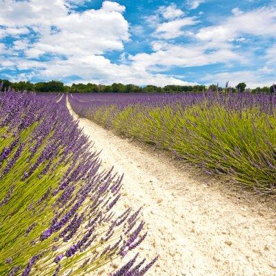 Fototapeta Provence - Champs de Lavandes