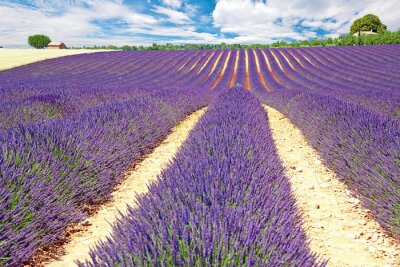 Fototapeta Provence - Plateau de Valensole