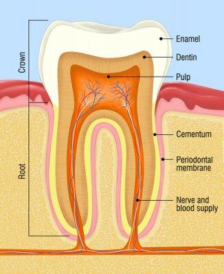 Fototapeta Przekrój z ludzkich zębów