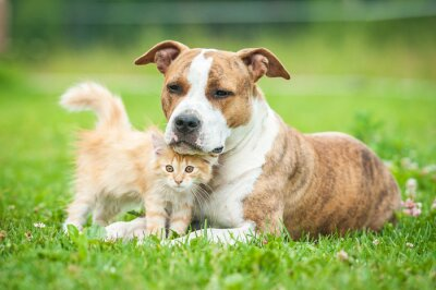 Fototapeta Przyjaźń z american staffordshire terrier pies z małego kotka
