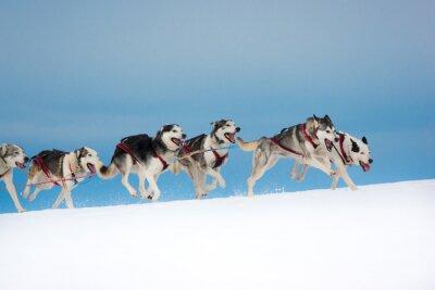 Fototapeta Psy ras psów sanki