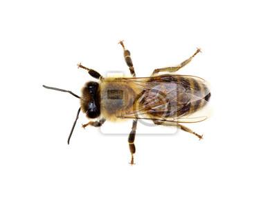 Fototapeta Pszczoła