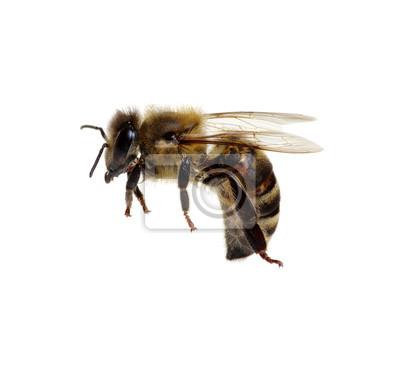 Pszczoła na białym