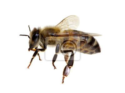 Pszczoła odizolowywająca na bielu