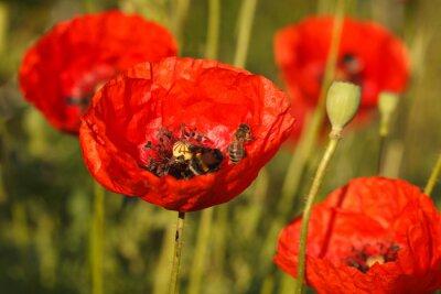 Fototapeta Pszczoły i czerwone maki z bliska na polu
