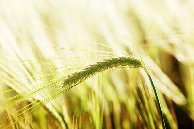 Fototapeta pszenicy i słoneczny dzień