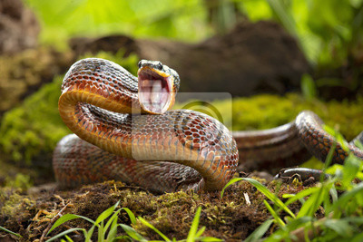 Fototapeta Puffing Snake - Phrynonax poecilonotus is a species of nonvenomous snake in the family Colubridae. The species is endemic to the New World.