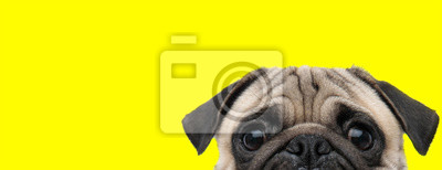 Fototapeta pug dog with gray fur exposing only half of head