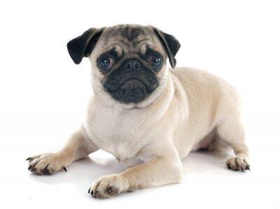 Fototapeta puppy pug