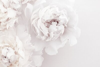Fototapeta Pure white peony flowers as floral art background, wedding decor and luxury branding design