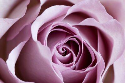 Fototapeta PURPLE ROSE CLOSE UP, VARIETY MEMORY ROSE