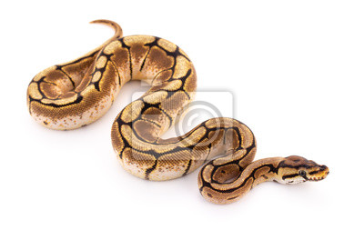 Fototapeta python wąż pytona piłkę