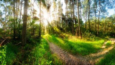 Fototapeta Rano słońce świeci na szlak w lesie