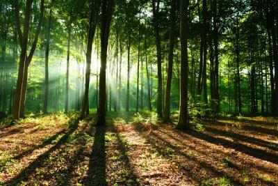 Fototapeta Rano w lesie