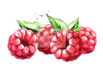 Fototapeta Raspberry. Watercolor hand drawn illustration, isolated on white background