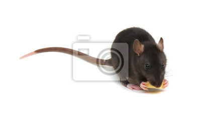 rat and cheese isolated on white