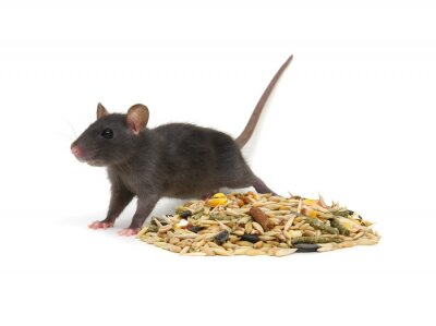 Rat and rodents feed on white