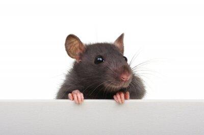Rat closeup on a white background